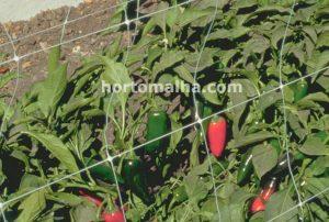 Hortomalha em pimentas